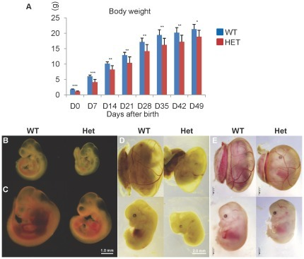 Growth retardation of Cul4b heterozygous mice during embryonic development.(A) Bodyweights of Cul4b heterozygous mice and littermate wild-type females after birth. Data were presented as mean±SD. N = 8, *: p<0.05; **: p<0.01; ***: p<0.001. (B–E) Representative photographs of Cul4b heterozygous embryos and littermate wild-type controls at 9.5 (B), 10.5 (C), 12.5 (D) and 14.5 (E) dpc. The bar represents 1 mm in (B–C) and 2 mm in (D) and (E), respectively.