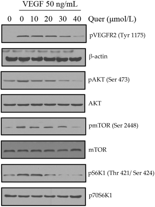 Quercetin inhibits the activation of VEGFR2-mediated signaling pathways in HUVECs.Quercetin suppressed the activation of VEGFR2 and their down stream AKT/mTOR/p70S6K pathway triggered by VEGF in HUVECs. Proteins from different treatments was tested by western blotting and probed with specific antibodies. Experiments were repeated for three times.