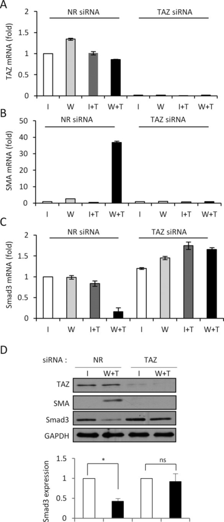 TAZ plays an important role in wound-restricted SMA expression and Smad3 down-regulation. Cells cultured in the context of the wound model were transfected with NR or TAZ-specific siRNA. After 24 h they were either left untreated or exposed to TGFβ for 72 h, and samples corresponding to indicated conditions and regions were analyzed by quantitative PCR for TAZ (A), SMA (B), and Smad3 (C) mRNA. (D) The effect of TAZ silencing on SMA and Smad3 protein expression in the wound model. Monolayers were treated as described, and samples corresponding to I and W+T conditions were subjected to Western blotting for the indicated proteins. The graph shown below represents the densitometric analysis of the GAPDH-normalized Smad3 levels under the indicated conditions (mean ± SEM; n = 4).