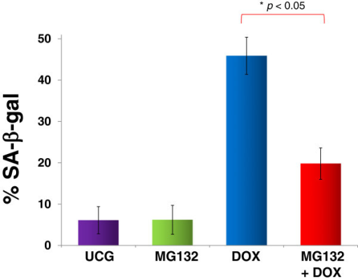 Assessment of senescence in U397 human leukemic cells treated with MG132 (1 μM), Doxorubicin (DOX) 1 μM, or MG132 + DOX. U937 cells (1 × 106) were incubated alone or with different treatments for 24 h at 37°C in a humid atmosphere containing 5% CO2 and 95% air in RPMI-S medium. After incubation, the cells were washed in the same medium, and senescence was determined by measuring SA-β-gal utilizing flow cytometry. For each sample, at least 20,000 events were acquired in a FACSAria-I cell sorter and the data were analyzed with FACSDiva software. Results are shown as % and represent the mean ± the Standard deviation (SD) of three independent experiments performed in triplicate. Statistical analysis, the Mann–Whitney U test. *p <0.05 MG132 + DOX vs DOX; ♦p <0.05 DOX vs all groups. UCG = Untreated control group.