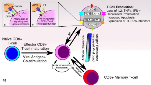 The process of T cell exhaustion in chronic viral infection and possible effects of ipilimumab. a) After the introduction of initial antigen (infection), naive CD8+ T cells are primed by antigen and, with concomitant stimulation and ongoing inflammation, mature into effector CD8+ T cells. As the antigen (infection) clears, a subset of the effector CD8+ T cells further differentiate into memory CD8+ T cells with the ability to produce cytokines such as IL-2, tumor necrosis factor (TNF) and interferon-γ (IFN-γ), then degranulate, proliferate and self-rejuvenate. In the event of chronic antigen exposure (infection) and subsequent increasing viral load and persistence of antigen (infection), mature effector CD8+ T cells proceed through a hierarchical process of exhaustion, loss of effector functions including the ability to produce cytokines and degranulate, the progressive expression of inhibitory receptors, and the loss of the ability to proliferate and self-rejuvenate and elimination. These processes culminate in the loss of virus-specific CD8+ T cell responses. b) Cytotoxic T-Lymphocyte Antigen 4 (CTLA-4) is an inhibitory receptor expressed on the surface of exhausted CD8+ T cells. It is analogous to, but serves the opposite function of, the CD28 T cell receptor also found on the surface of these cells. Activated antigen presenting cells (APC) loaded with antigen express CD80/86, which can either bind CD28 resulting in a stimulatory signal, or bind to CTLA-4 resulting in attenuation of further intracellular signaling and gene expression and ultimately CD8+ T cell response. c) Ipilimumab is a monoclonal antibody that targets the CTLA-4 receptor on CD8+ T cells. It functions by binding the CTLA-4 receptor, thus preventing CD80/86-CTLA-4 binding and the resultant CD8+ T cell attenuation, thereby halting and potentially reversing the process of CD8+ T cell exhaustion.
