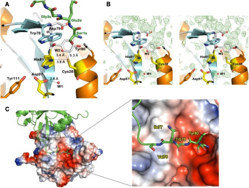 Active site and electrostatic potential surface charge of hNtaq1.(A) Substrate binding cleft of hNtaq1. Carbon in the substrate-mimicking peptide, catalytic triad, α-helices, β-strands, and loops are colored in green, yellow, orange, cyan, and white, respectively. Oxygen, nitrogen, and sulfur atoms are represented as red, blue, and gold, respectively. Two water molecules are shown as red sphere and labeled as W1 and W2. (B) Electron density map from an Fo–Fc omit map calculated without the bound substrate-mimicking peptide. Positive electron density are shown as a green mesh contoured at 2.0 σ, in a stereo view. (C) Electrostatic potential surface and substrate binding cleft region of hNtaq1. Negatively and positively charged surfaces are represented as red and blue shade, respectively. Residues interacting with the substrate-mimicking peptide molecule are labeled.