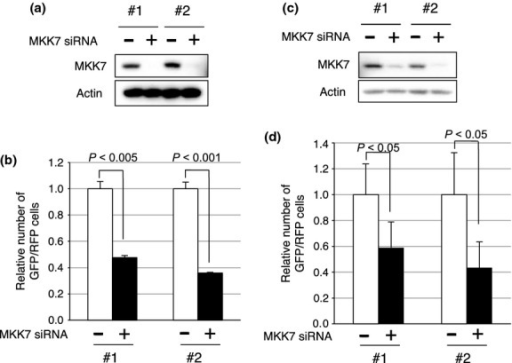 Inhibition of MKK7 suppresses liver metastasis of colon cancer cells. (a, c) Western blot analyses of siRNA-transfected cells. HCT116/GFP cells (a) or DLD-1/GFP cells (c) were transfected with control or MKK7 siRNA. #1 and #2 designate a set of siRNAs from Invitrogen and Qiagen, respectively. The transfected cells were used for Western blot analyses with anti-MKK7 or anti-actin antibody. (b, d) Inhibition of liver metastasis by MKK7 siRNA. HCT116/GFP cells or DLD-1/GFP cells were transfected with the indicated siRNA, and the mixtures of the transfected HCT116/GFP cells and HCT116/red fluorescent protein (RFP) cells were injected into the spleen. (b) Ten days after the splenic injection of the mixture of the cells, metastasized cells were isolated from the liver and the number of GFP-positive and RFP-positive cells were counted by flow cytometry. The inhibitory effect of each siRNA was evaluated by calculating the GFP/RFP ratio. (d) Ten days after the splenic injection of a mixture of DLD-1/GFP and DLD-1/RFP cells, GFP/RFP dual fluorescence images for metastasized liver were taken. The inhibitory effect was evaluated by counting the number of GFP/RFP fluorescent foci.