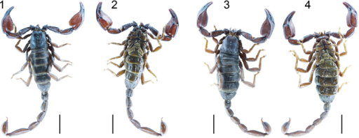 Habitus of Scorpiopsingens sp. n. Dorsal and ventral habitus: 1–2 Male holotype (Ar.-USTC-XZLS1401) 3–4 Female paratype (Ar.-USTC-XZLS1402). Scale bar = 10.0 mm.
