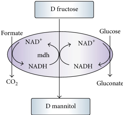 Cofactor regeneration strategies in mannitol production.