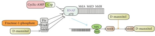 Mechanism of action of mtlADR operon. The transcriptional activator MtlR, which in the presence of mannitol produces derepression of the mtlADR operon, but when glucose is present in the medium, this operon is a target of catabolite repression (through CRP), independent of MtlR. MtlA takes up exogenous mannitol, releasing the phosphate ester, mannitol-1-P, into the cell cytoplasm, but it is not clear which of the two metabolites is the inducer of MtlR http://biocyc.org/ECOLI/NEW-IMAGE?type=OPERON&object=TU00193.