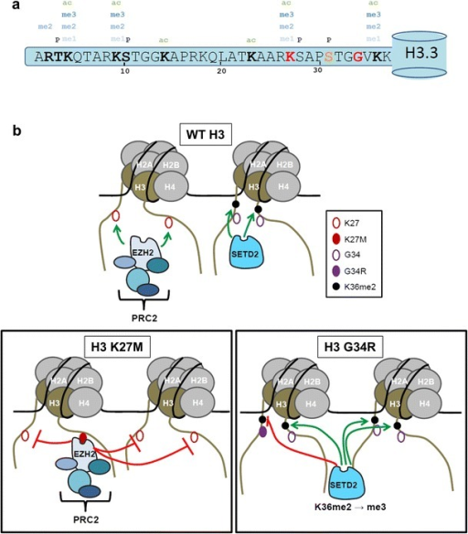 K27M mutants dominantly block PRC2 methyltransferase activity on H3K27, whereas G34R/V mutants block SETD2 methyltransferase function on K36 of the same tail. a Representation of the amino terminal tail of histone H3.3 showing the position of known posttranslational modifications, the site of amino acid substitutions identified in tumors (K27 and G34: red), and the amino acid that differs in the H3.3 tail from H3.1 (Ser 31: orange). b Cartoon depicting the distinct modes of action of K27M mutants and G34R/V mutants in modulating posttranslational modifications on H3 proteins. Note that for the K27M mutant, we depict EZH2 as bound to mutant chromatin, with methyltransferase activity blocked on adjacent sites. Such binding of EZH2 ON chromatin may block the chromatin template from additional chromatin transactions. An alternative possibility is that non-nucleosomal K27M mutant H3 could sequester EZH2 off chromatin, which would leave open the possibility of additional modifications occurring on the mutant chromatin template