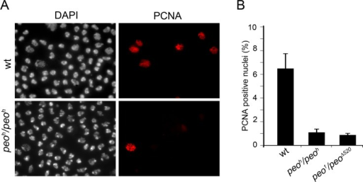 Peo is required for PCNA incorporation into brain cell nuclei.(A) Example of brain cell nuclei stained for PCNA after extraction with Triton X-100. (B) Frequencies of PCNA positive nuclei. The frequencies of PCNA positive nuclei in each sample (wild type, peoh/peoh and peo1/peo∆520) were obtained by examining at least 4000 nuclei from at least 4 brains.