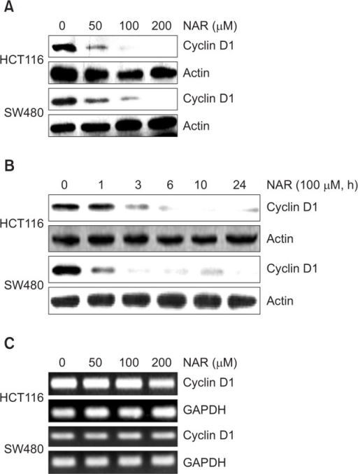 Effect of NAR on cyclin D1 level in HCT116 and SW480 cells. (A) HCT116 and SW480 cells were plated overnight and then treated with NAR at the indicated concentrations for 24 h. Cell lysates were subjected to SDS-PAGE and Western blot was performed using antibodies against cyclin D1 and actin. (B) HCT116 and SW480 cells were plated overnight and then treated with 100 μM of NAR for the indicated times. Cell lysates were subjected to SDS-PAGE and Western blot was performed using antibodies against cyclin D1 and actin. (C) HCT116 and SW480 cells were plated overnight and then treated with NAR at the indicated concentrations for 24 h. For RT-PCR analysis of cyclin D1 gene expression, total RNA was prepared after NAR treatment for 24 h. Actin and GAPDH were used as internal control for Western blot analysis and RP-PCR, respectively.