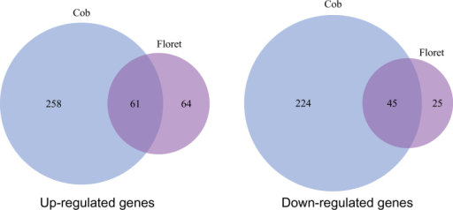 Venn diagram of up-regulated and down-regulated genes in the cob versus the florets, under LN.