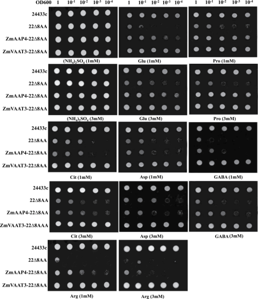 Functional characterization of ZmAAP4 and ZmVAAT3 in the 22∆8AA yeast system. The 23344c and 22Δ8AA served as positive and negative controls, respectively, with the (NH4)2SO4 treatment as a control of N source.