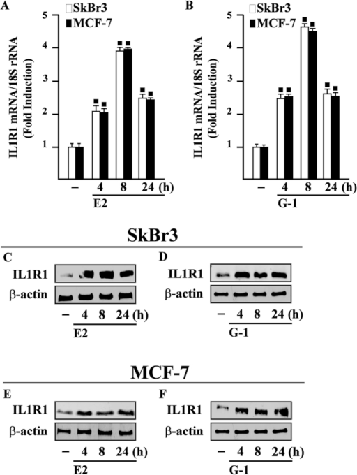 E2 and G-1 induce IL1R1 expression in SkBr3 and MCF-7 breast cancer cells.10 nM E2 (A) and 100 nM G-1 (B) induce the mRNA expression of IL1R1, as evaluated by real-time PCR. Data obtained in three independent experiments performed in triplicate were normalized to 18S expression and shown as fold changes of IL1R1 expression upon E2 and G-1 treatments respect to cells exposed to vehicle (−). (◼) p < 0.05 for cells receiving treatments versus vehicle. Evaluation of IL1R1 protein expression in SkBr3 (C,D) and MCF-7 cells (E,F) treated with 10 nM E2 and 100 nM G-1, as indicated. β-actin serves as a loading control. Results shown are representative of at least two independent experiments.