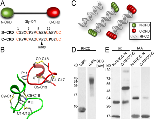 Disulfide-linked oligomers formed by N-CRD and C-CRD fusion proteins with the tetrameric RHCC.(A) Schematic representation of minicollagen-1 domain structure. The N-CRD is shown as green and the C-CRD as a red oval, the central collagen domain as a black bar. Lower panel: N-CRD and C-CRD amino acid sequences. The conserved cysteines are highlighted in red. Amino acids favoring the C-CRD fold are shown in bold. (B) N-CRD (green) and C-CRD (red) structures, secondary structure is shown in ribbons, disulfide bonds and the P10 and V4 residues responsible for the C-CRD fold are shown as sticks and colored by atom types (carbon, sulfur and nitrogen atoms are shown in grey, yellow and blue respectively). (C) Schematic representation of the C-CRD and N-CRD RHCC fusion proteins. (D) Tetrameric coiled-coil formation by the RHCC protein can be visualized in SDS-PAGE using low SDS concentration (right lane, apparent MW of about 35 kDa). Monomeric RHCC (left lane) has a calculated MW of 7,6 kDa and an apparent MW of about 9 kDa. (E) Disulfide-linked oligomers of RHCC-CRD fusion proteins in non-reducing SDS-PAGE (left lanes). IAA treatment blocks cysteine cross-linking (right lanes). Note that some residual dimers are present indicating incomplete modification with IAA.
