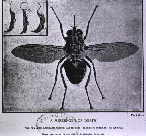 <p>Showing a specimen of a tsetse fly.</p>