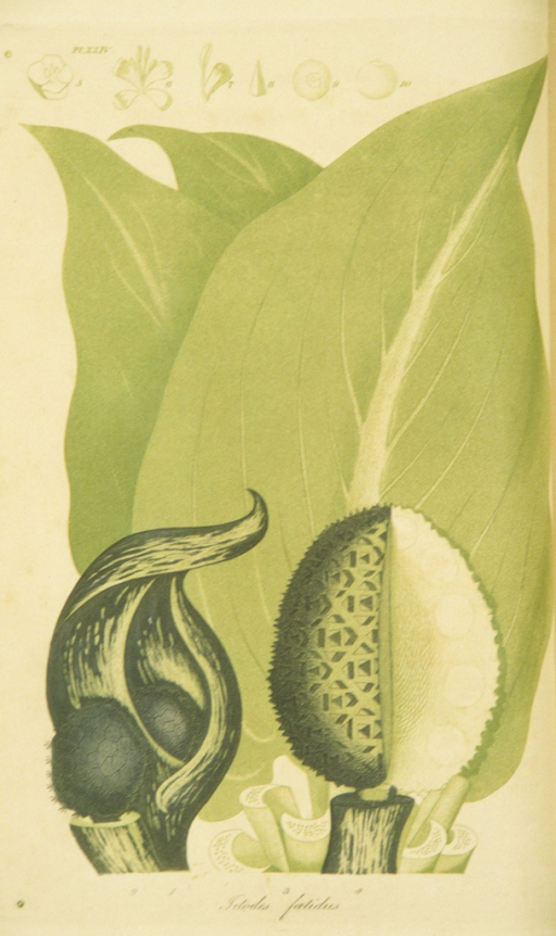 <p>Colored engraving of a skunk cabbage.</p>