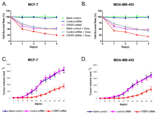 Effects of hTERT-siRNA combined with doxorubicin on the proliferation of breast cancer cells. The MCF-7 (A) and MDA-MB-453 (B) breast cancer cells were either untreated or treated with 0.5 μM doxorubicin 12 h after the siRNA transfection. Cell viability was measured by the MTT assay every day for 4 days. Data are shown as mean ± SD from three independent experiments. Panel C and D show the inhibition effect of hTERT siRNA on the tumorigenic potential of human breast cancer cells. 2 × 106 MCF-7 cells (C) or MDA-MB-453 cells (D) that were untreated or transfected with control siRNA or hTERT siRNA were injected subcutaneously into each flank of athymic nude mice. The tumor dimensions were measured every 3 days. The mean tumor volume (mm3) was calculated according to the formula: (d2 × D)/2, where d and D are the shortest and longest diameters of the tumor, respectively. All measurements were performed in a coded, blinded fashion. Data are shown as mean ± SD with 5 mice per treatment group.