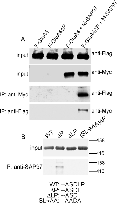 Deletion of proline-902 exposes a functional PDZ motif in GluA4 and confers binding to SAP97.(A) Expression of wild-type or mutant GluA4, with or without co-expressed myc-tagged SAP97 in HEK293 cells. Upper panels show expression of all proteins; lower panels show co-immunoprecipitation of GluA4ΔP, but not full-length GluA4 with SAP97. Immunoblotting antibodies are indicated on right. (B) Transiently expressed GluA4ΔP can co- immunoprecipitate with endogenous SAP97 from HEK293 cells. Upper panel shows similar expression levels of transfected GFP-tagged constructs. Lower panel show immunoprecipitation with anti-SAP97 specific antibody. Both blots were probed with anti-GFP IgG. The extreme carboxyterminal sequences of the expressed proteins are shown below.