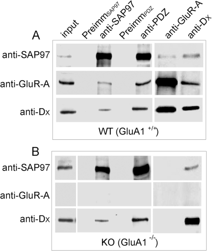 Native GluA4 AMPA receptors interact with SAP97.Whole brain detergent extracts prepared from (A) wild-type (WT, GluA1+/+) and (B) GluA1 knockout mice (GluA1−/−) were subjected to immunoprecipitation. Immunoprecipitating antibodies are indicated on top; whereas antibodies used for detection of the immunocomplexes are shown on the left.