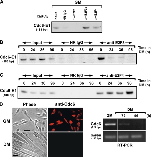 E2F3a occupies the Cdc6 promoter in myoblasts, but it is replaced by E2F4 after differentiation. (A) ChIP of C2C12 myoblasts cultured in GM with antibodies (Ab) detecting E2F1, E2F3a, and E2F4. As a control, ChIP was also performed in parallel with normal rabbit IgG (NR IgG). Purified DNA from enriched chromatin fragments was amplified by PCR with the E1 primers. (B and C) ChIP of C2C12 myoblasts cultured in DM at the indicated times using normal rabbit IgG and either anti-E2F3a or anti-E2F4, respectively. Precipitated DNA was analyzed for the presence of the Cdc6 promoter by PCR. (D) The occupation of the Cdc6 promoter by E2F4 correlates with its silencing in differentiated myoblasts. Immunofluorescent staining of C2C12 myoblasts cultured in GM or DM for 96 h was performed by using a Cdc6-specific antibody. Antibody staining is visualized as red. RT-PCR detection of Cdc6 transcripts in C2C12 myoblasts cultured in GM or in DM for 72 or 96 h. GAPDH expression is used as a loading control. White lines indicate that intervening lanes have been spliced out. Bars, 20 µm.