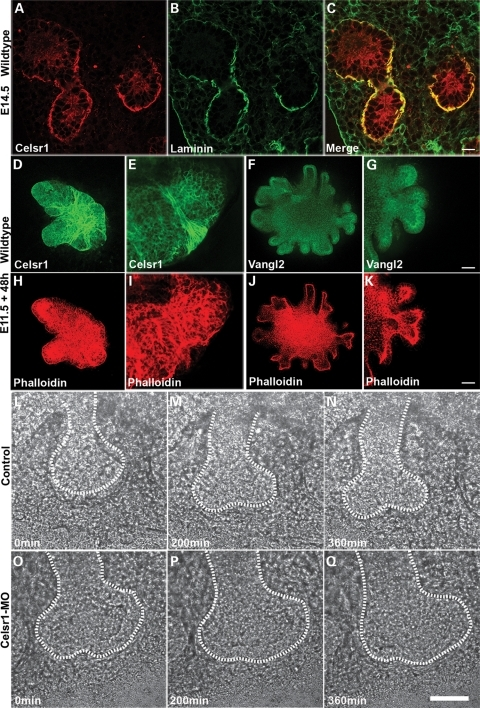 Differential expression of Celsr1 and Vangl2 is observed in branching lung endoderm explants and morpholino knockdown highlights a role for Celsr1 in bifurcation. Double-labelling of wild-type E14.5 cryosections with Celsr1 (A, C) and laminin (B, C) antibodies. E11.5 lung endoderm explants cultured for 48 h in 400 ng/ml FGF10 and double labelled with phalloidin (H–K) and Celsr1 (D, E) or Vangl2 (F, G) antibodies. High levels of Celsr1 expression are present in regions of restricted tissue growth such as points of bifurcation (D, E, H, I). Vangl2 is most highly expressed at the luminal surface of outgrowing buds (F, G, J, K). E11.5 lung explants from β-actin promoter driven GFP embryos were cultured for 48 h in the presence of control (L–N) or Celsr1 (O–Q) morpholinos and subsequently imaged over a 24 h period. Images show three timepoints from this series. Scale bars: (A–C) 125 µM ×2 zoom (D, H, F, J) 125 µM ×2.7 zoom, (E, I) 125 µM ×10 zoom, (G, K) 125 µM ×8 zoom, (L–Q) 50 µM.
