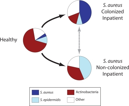 "Distinct microbial populations in healthy and hospitalized adults.Pie charts depict average frequencies of dominant microorganisms in the anterior nares of healthy adults and inpatients, classified by S. aureus carriage status. Arrows outline possible pathways by which microbial populations develop in hospitalized patients. ""Other"" represents less abundant taxa, such as Proteobacteria and Firmicutes other than S. aureus and S. epidermidis."