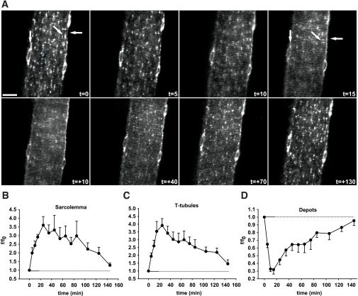 In situ contractions induce GLUT4-EGFP translocation to and re-internalization from both sarcolemma and t-tubules with similar kinetics. A: t=0 shows confocal image of a basal GLUT4-EGFP–expressing muscle fiber just before in situ contractions in an ICR mouse. Contractions were elicited using the high-voltage protocol for 3 × 5 min separated by 90 sec of rest. Horizontal arrows indicate sarcolemma, while GLUT4-EGFP depots are indicated near the nuclei by vertical arrows and inside the fiber by diagonal arrows. Similar observations were done in fibers from five to eight mice. t = denotes accumulated contraction time; t = + denotes time during recovery after contractions. Bar = 20 μm. B-D: Image quantifications of GLUT4-EGFP at the sarcolemma (B), the t-tubules (C), and the intracellular vesicle depots (D). Horizontal solid lines indicate contraction period. Horizontal dotted lines indicate the period after contractions. Data are means ± SE. n = 5–8.