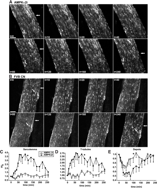Depletion of AMPKα2 activity markedly reduces AICAR-mediated GLUT4-EGFP translocation to both the sarcolemma and t-tubules. A and B: t = 0 shows confocal images of a basal GLUT4-EGFP–expressing muscle fiber in situ in either an AMPKα2 inactive transgenic mouse (A) or a matched control FVB mouse (B). Immediately after t = 0, AICAR was administrated intravenously via the tail vein. Horizontal arrows indicate sarcolemma, while GLUT4-EGFP depots are indicated near the nuclei by vertical arrows and inside the fiber by diagonal arrows. Similar observations were made in fibers from five to six mice in each group. Numbers denote time in min. Bars = 20 μm. C–E: Image quantifications of GLUT4-EGFP at the sarcolemma (C), the t-tubules (D), and the intracellular vesicle depots (E). Area under curves were calculated. *Statistical difference between groups (P < 0.05). Data are means ± SE. n = 5–6.