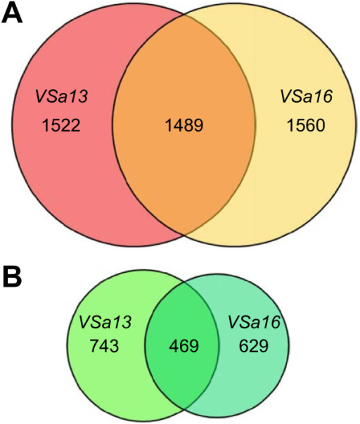 Venn diagrams of genes up-regulated (A) and down-regulated (B) during mineralization of VSa13 and VSa16 cells. A two class SAM test was performed; FDR and FC parameters were lower than 5% and higher than 1.5, respectively. Size of diagrams is proportional to the size of gene pools.