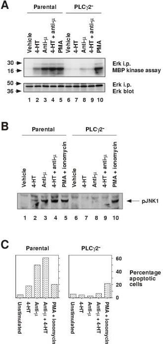 Btk:ER-induced ERK and JNK activation, and apoptosis, are dependent on PLCγ2. A, Btk:ER-induced ERK MAPK activation is dependent on PLCγ2. Parental and PLCγ2-deficient cells expressing Btk:ER were treated for 60-min with vehicle control (0.1% ethanol), 4-HT (1 μM) and/or anti-μ mAb M4 (4 μg/ml), or for 15-min with PMA (100 ng/ml) as a positive control. ERK activation was measured by immune complex kinase assay as described in the legend for Fig 3A. B, Btk:ER-induced JNK phosphorylation is dependent on PLCγ2. Parental and PLCγ2-deficient cells expressing Btk:ER were treated for 30-min with vehicle control (0.1% ethanol), 4-HT (1 μM) and/or anti-μ mAb M4 (4 μg/ml), or for 10-min with PMA (100 ng/ml) and ionomycin (250 ng/ml) as a positive control. JNK phosphorylation was measured by immunblotting with anti-active JNK phosphospecific antiserum as described in the legend for Fig 3B. C, Btk:ER-induced apoptosis is dependent on PLCγ2. Apoptosis of parental and PLCγ2-deficient cells expressing Btk:ER was measured by TUNEL assay as described in the legend for Fig 3C. PMA (100 ng/ml) and ionomycin (250 ng/ml) were used as a positive control. These data are representative of three independent stable clones.