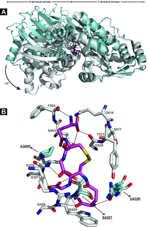 Structure of HbpA2 from H. parasuis. (A) Ribbon diagram showing an overlay of GSSG-complexed GbpA (PDB id. 3M8U; gray) with HbpA2 from H. parasuis (PDB id. 3TPA; blue). The structures were superposed with respect to their C-terminal domains. HbpA2 shows a conformation that opens the cleft between the N- and C-terminal domains about 30° relative to its ligand-complexed paralogous counterpart. GSSG is depicted in atom-colored sticks. (B) Key binding residues of the GbpA C-terminal domain to accommodate GSSG (shown in atom-colored gray sticks) are replaced in HbpA2 by counterparts (shown in atom-colored blue sticks) that are incompatible with binding peptide-like allocrites. Residue numbering is according to PDB id. 3M8U. Some key interactions are depicted as black dashed lines. For clarity some interactions have been omitted. The figure was created with PyMOL (The PyMOL Molecular Graphics System, Schrödinger, LLC).