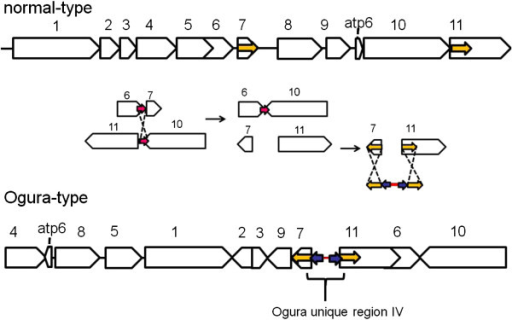 A possible model for integration of the sequence (unique region IV) in Ogura-type mitochondrial genome. Yellow small arrows indicate identical 176-bp inverted repeats at the edges of regions 7 and 11. On the insides of these repeated sequences, another pair of 28-bp inverted repeats is present (purple small arrows). Unique region IV had been integrated into radish mitochondria genome via these repeats when recombination between syntenic regions 7 and 11 occurred.