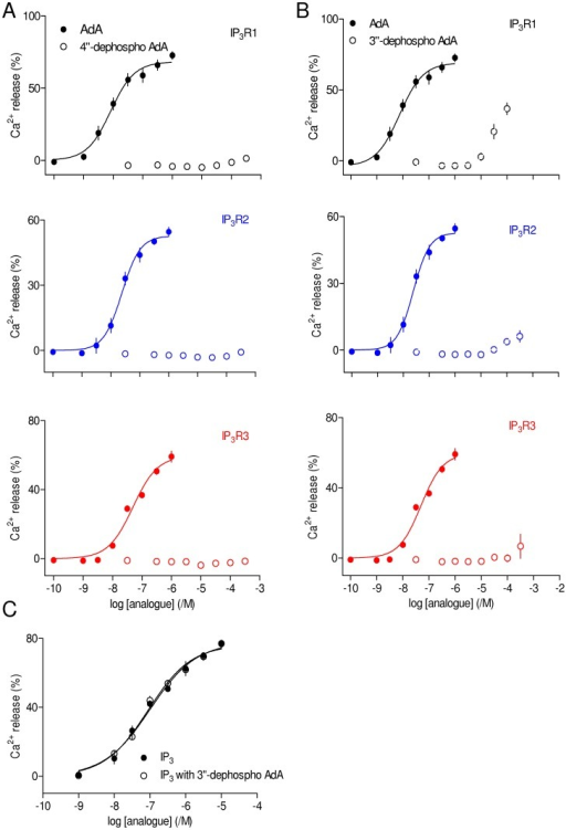 Structures equivalent to the 4,5-bisphosphate of IP3 are not essential for AdA activity.(A, B) Concentration-dependent effects on Ca2+ release via each IP3R subtype of 4″-dephospho AdA (A) and 3″-dephospho AdA (B) compared with AdA. Results are means ± SEM from n independent experiments (n is provided in Table 1). (C) Concentration-dependent effects of IP3 alone on Ca2+ release via IP3R1 or after pre-incubation (30 s) with 3″-dephospho AdA (30 µM), which itself evoked release of 21±5% of the intracellular Ca2+ stores. Results (C) are means ± SEM from 3 independent experiments.