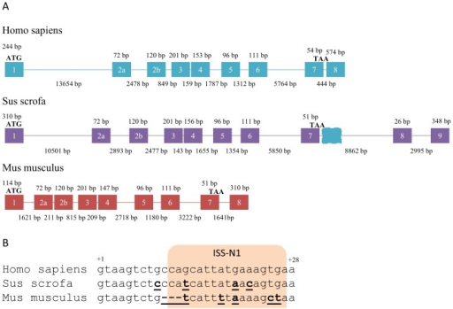 Genomic structure of SMN1 genes in humans, pigs and mice.A) SMN1 pre-mRNA transcripts expressed in humans, pigs and mice. Exons included in transcripts are numbered according to historical nomenclature. Presence of pseudoexons in processed introns are indicated in dashed outline and coloured according to the species expressing transcripts including these exons. Introns are drawn to scale and indicated as lines, exons are not drawn to scale and are indicated as boxes. Start-codon is indicated by ATG and stop-codon by TAA. B) The start-sequence of intron 7 in humans, pigs and mice. Bases that differ from the human sequence are indicated in bold underline. The location of the human ISS is indicated in shade.
