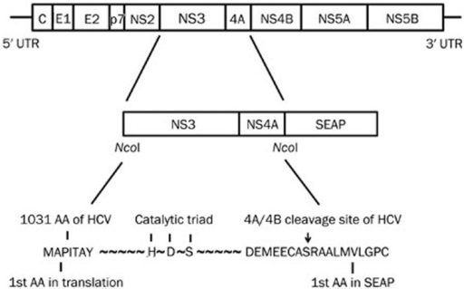 The schematic diagram of HCV NS3/4A-Seap expression plasmids. The Seap gene with an N-terminal signal was fused in-frame to the HCV NS3/4A coding sequence. NS3/4A and Seap amino acids in the fusion regions are shown by capitalized characters. HDS is the catalytic triad of the HCV NS3 protease. The S to A mutation in the catalytic triad results in a disabled NS3 protease. The NS4A/4B cleavage site is indicated by an arrow.