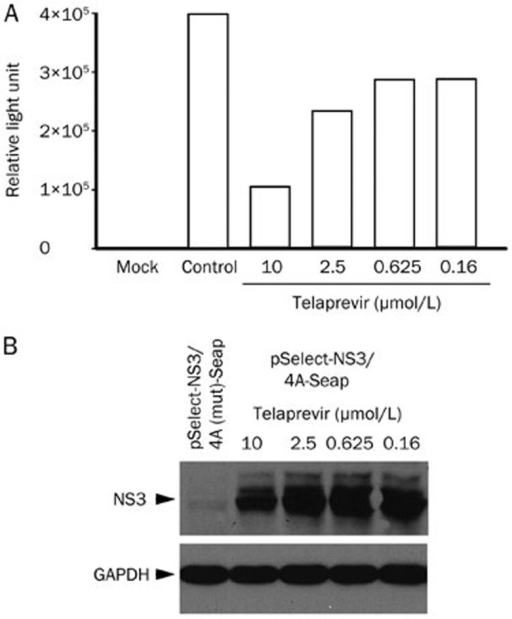 The inhibitory activity of telaprevir on HCV NS3/4A protease by transient transfection. (A) The Seap activity in the supernatant of cells transfected with pSelect-NS3/4A-Seap. Huh7.5.1 cells were transiently transfected with the plasmid and co-cultured with telaprevir for 72 h. Culture supernatant was collected and subjected to the Seap assay. Representative data are from three independent experiments with the same results. (B) Western blot analysis for telaprevir inhibiting NS3 cleavage. pSelect-NS3/4A-Seap-transfected cells were lysed after 72 h co-cultured with telaprevir (as above). The NS3/4A fusion peptide was detected by a specific anti-NS3 antibody; GAPDH is shown here as the control. The representative result is from two independent experiments with the same results.