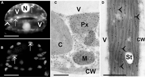Images show the typical distribution of glutathione. (A) Monochlorobimane staining in guard cells of the upper epidermis of tobacco cells in the light microscope. Fluorescence was observed in cytosol and nuclei (N) but not in vacuoles (V) and cell walls (arrowhead). Additionally, no fluorescence could be observed in chloroplasts (arrows in A and B) which can be best identified when comparing the autofluorescence of chloroplast (B) with monochlorobimane staining (A). Transmission electron micrographs show the subcellular distribution of glutathione (C,D) in mesophyll cells of leaves from Arabidopsis Col-0 plants. Glutathione-specific labeling could be observed in different concentrations in mitochondria (M), chloroplasts (C), peroxisomes (Px) but not in vacuoles (V) and cell walls (CW). Glutathione-specific labeling was observed in the stroma as well as inside the thylakoid lumen (arrowheads) when plants were exposed to high light intensities of 700 µmol m-2 s-1. Bars in (A,B) = 10 µm, (C,D) = 0.5 µm.