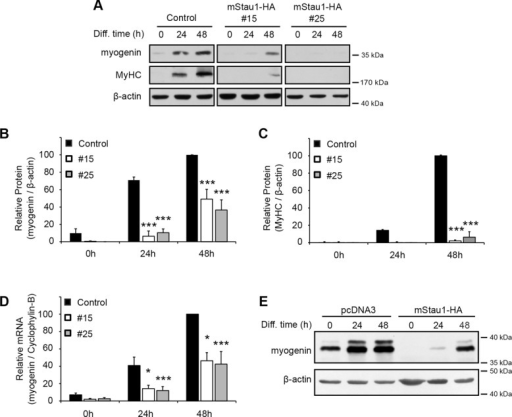 Staufen1 decreases the expression of the myogenic markers myogenin and MyHC. (A) Representative Western blots showing myogenin and MyHC expression during differentiation of Staufen1-HA–stable C2C12 cells. β-Actin was used to show equal loading. (B, C) Relative quantification of myogenin and MyHC protein levels, respectively (n = 3). (D) Relative quantification of myogenin mRNA levels as determined by qRT-PCR (n = 4). Levels were normalized to cyclophylin-B. (E) C2C12 cells were transiently transfected with mouse Staufen1-HA or a control empty vector (pcDNA3). At 24 h after transfection, cells were switched to differentiation medium and differentiated for the indicated time. Western blots showing myogenin expression in transfected cells. β-Actin was used as a loading control. Asterisks indicate significance (*p ≤ 0.05, ***p ≤ 0.001).