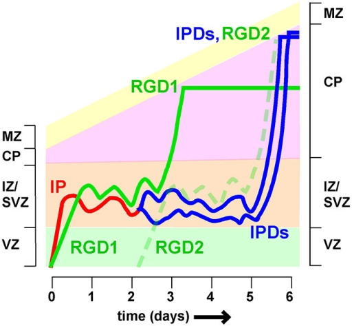 Different timing of intermediate zone exit influences cortical lamination Neurons spend variable times migrating in the intermediate zone (IZ). Postmitotic neurons derived directly from radial glia (i.e., radial glia daughters, RGD) spend approximately 2 days in the IZ before entering the cortical plate (CP). Intermediate progenitors (IP) divide to create intermediate progenitor daughters (IPDs), for a total time of approximately 5 days in the IZ. As a result RGD born on day 0 (RGD1) arrive at the top of the CP 2–3 days before IPDs whose mother IP also left the VZ on day 0. As a result the IPDs layer above RGD1, and co-layer with RGD2, born 2 days later. If neuron fate is fixed at the last RG division, then this would cause mixing of neurons of different fates in the same layer.