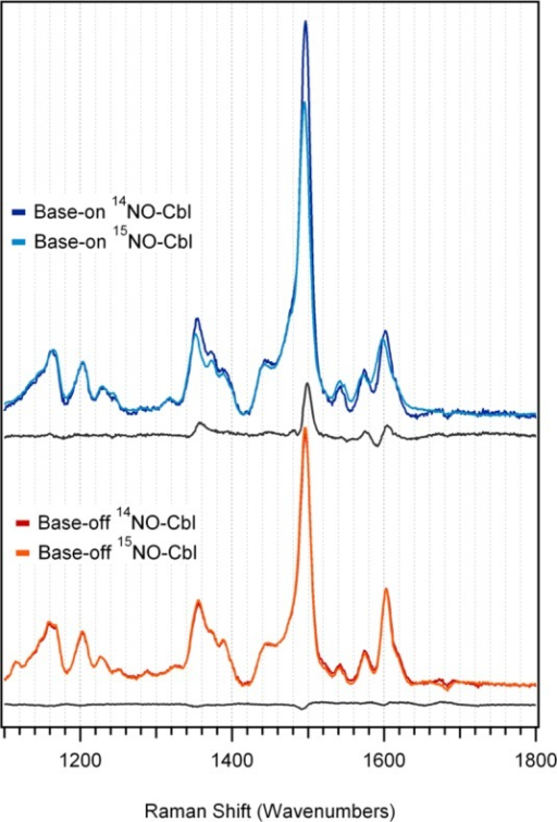 High-energy region of rR spectra of NOCbl and its 15NO-enrichedisotopomer in the base-on and base-off conformations, obtained at77 K with 488 nm (20 491 cm–1) laser excitation.A difference spectrum for each conformation is included below thetwo data sets to highlight the isotope-sensitive vibrational features.