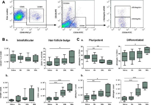 Murine CD34+ epidermal keratinocytes expand and differentiate with time post-Schistosoma mansoni infection. (A) Flow cytometry gating strategy to identify CD45− keratinocytes with a CD326+ interfollicular and CD34+ hair follicle bulge-associated phenotype in epidermal cell suspensions. Surface expression of the pluripotency marker α6integrin is shown within the CD34+ population (representative flow cytometry plots from four independent experiments). (B) Proportions (a) and cell numbers (b) of keratinocyte sub-populations within the non-haematopoietic CD45− gate. (C) Proportions (a) and cell numbers (b) of α6integrin+ and α6integrin− cells within the CD34+ gate (n = 4 independent experiments, three mice per group for each experiment; box plots indicate median ± 95% confidence interval). Unpaired t-tests were performed where ANOVA was significant; ∗P < 0.05, ∗∗P < 0.01, ∗∗∗P < 0.001.