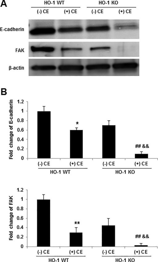 HO-1 stabilizes the adhesion proteins E-cadherin and FAK.(A) HO-1 WT and HO-KO mice were exposed to either 20 μl of CE or held as controls for 24 hours. Cell lysates were prepared from lung epithelial cells and analyzed by western blotting with anti-E-cadherin and FAK antibodies. (B) The densities of protein bands were determined by densitometry and the data represent a one-fold increase from the control density. Data are shown as a mean ± SD from three different experiments. * p < 0.05, ** p < 0.01 vs HO-1 WT (-) CE; ## p < 0.01 vs HO-1 KO (-) CE; && p < 0.01 vs HO-1 WT (+) CE by a one-way ANOVA with HSD test.