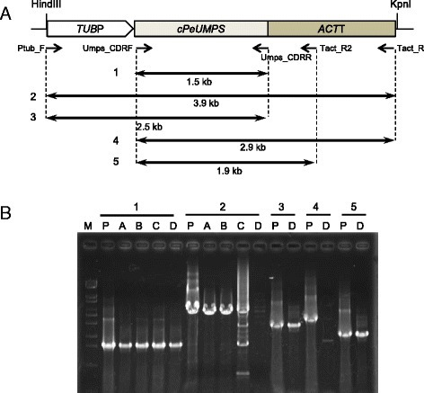 PCR amplification of the pUT1 sequences integrated into the genomes of transgenic strains. a The pUT1 map: TUBP, the promoter region of PeTUBULIN1; cPeUMPS, the PeUMPS cDNA; ACTT, the terminator region of PeACT1. The positions of the five PCR primers and the PCR products amplified using the primers (1–5) are shown below the pUT1 map. b Agarose gel electrophoresis to verify the presence or absence of PCR products 1–5. M, DNA marker (λ-EcoT14 I digest); P, pUT1; A, 4 M-1A; B, 4 M-1B; C, 4 M-1C; D, 4 M-1D