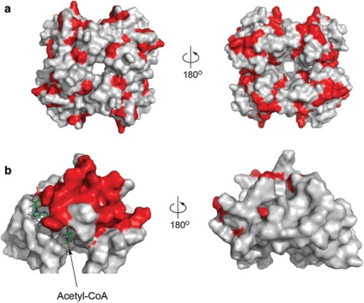 ConSurf analysis of amino acid conservation shows possible interacting surfaces on PanD and PanM. a Structure of E. coli pro-PanD tetramer. Residues that are more conserved in Class I (PanM-dependent) than in Class II (PanM-independent) gammaproteobacterial PanD homologs are highlighted in red. b Structure of E. coli PanM monomer bound to CoASH with conserved residues highlighted in red.