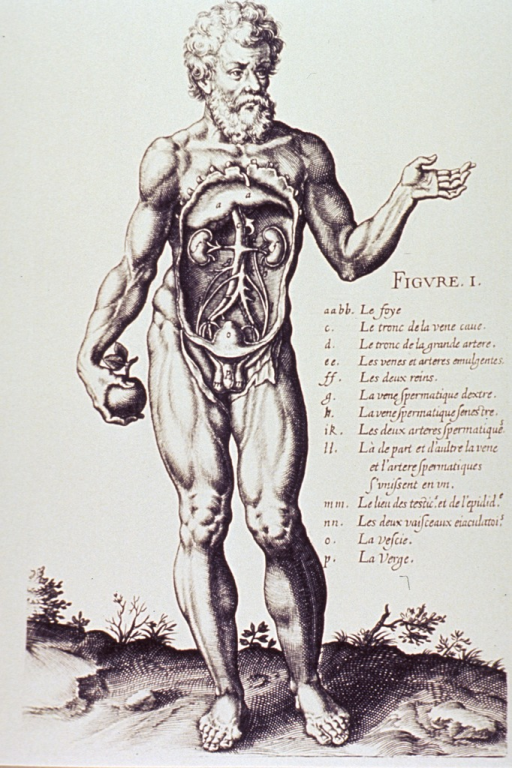 <p>A nude male figure standing full length with abdomen exposed for anatomical analysis; he is holding an apple.</p>