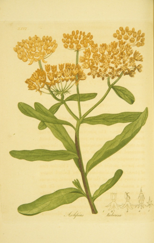 <p>Colored engraving of a flowering butterfly weed.</p>