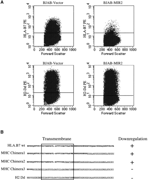 A critical domain within the transmembrane region of human MHC-I is required for MIR2-mediated downregulation. (A) Cells stably expressing the control vector or MIR2 were transiently transfected with the human or the mouse MHC-I molecule (HLA.B7 and H2 Dd, respectively). The number of cell expressing the transfected MHC-I at the surface was measured by flow cytometry. (B) Chimeric proteins between human (bold) and mouse (underlined) MHC-I were engineered, and their susceptibility to MIR2-mediated downregulation was analyzed as above.