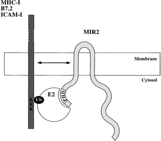 A model for MIR2 function as an E3 Ub ligase. MIR2 TM domains mediate recognition of their target molecules TM regions in the plane of the membrane, whereas its cytosolic PHD domain recruits one or more E2 Ub-conjugating enzymes and brings them into proximity with the cytosolic tail of the target protein, facilitating the transfer of Ub to key lysine residues.