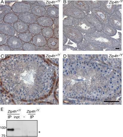 Zip4h expression in testis sections.Testis sections from adult Zip4h+/Y (A, C) and Zip4h−/Y (B, D) mice were immunohistochemically labeled for ZIP4H (in brown), and counterstained with hematoxylin (in blue). Staining patterns under low magnification (A, B). Higher magnification images showing positively stained zygotene cells of control tubules (C) and absence of staining in mutant tubules at the same stage (D). Black bars represent 50 µm. ZIP4H IP-Western blot from Zip4h+/Y and Zip4h−/Y 12 d.p.p. testis extracts (E), asterisk denotes lower molecular weight species visible only in Zip4h−/Y samples.