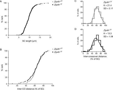 Crossover interference is reduced in Zip4h mutants.SC lengths (A) and inter-crossover distance expressed as % of SC (B) of double exchange bivalents in Zip4h+/Y and Zip4h−/Y spermatocytes are graphed according to increasing length. Maximum likelihood fitting of the data to the gamma-distribution allows estimation of the interference parameter, K, for control (C) and mutant (D) double exchange bivalents.