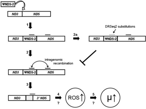 Summary of proposed molecular evolutionary causes and consequences of heteroplasmic ND5 deletions. The insertion of ψND5-2 (arrow 1) in the ancestor to the global C. briggsae clade (see Figure 2) is hypothesized to result in direct repeat-induced intragenomic recombination events (arrow 2) that in turn lead to heteroplasmic ND5 gene deletions (arrow 3). Expression of truncated ND5 gene products is hypothesized to promote elevated reactive oxygen species levels (arrow 4) that in turn promote higher mutation rates (arrow 5). Accumulation of substitutions (e.g. DRSeq2) in ψND5-2 direct repeats (arrow 2a) are hypothesized to cause reduced intragenomic recombination rates, thereby preventing the elevation of reactive oxygen species levels and associated mutation rate increases.